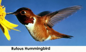 Hummingbirds -- Rufous hummingbird (public domain)