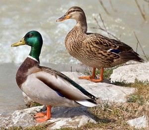 Mallard pair (Attribution -  Richard Bartz & CC BY - SA 2.5)