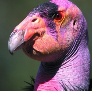 California Condor head