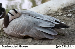 Bar-headed goose - 2; pix SShukla; Chandigarh; January 2011 - Copy