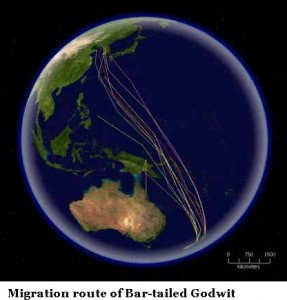 Bar-tailed_Godwit_migration route