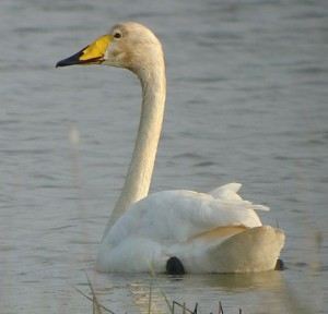 Whooper Swan (Attribution - I Paleixmart) (CC BY-SA 3.0)