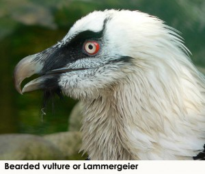 Vulture -- Bearded vulture (public domain)