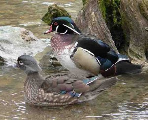 Wood Duck pair (Author - BS Thurner Hof) (CC BY-SA 3.0)