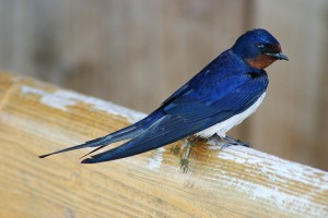 Barn Swallow (CC BY 2.5) (Attribution - I, Malene)
