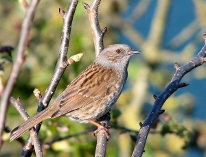 Dunnock (Author - Smalljim) (CC BY 3.0)