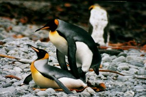 King penguins mating (CC BY-SA 3.0)