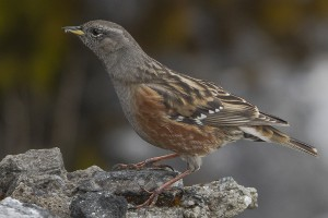 Alpine Accentor  (Author - Dibyendu Ash) (CC BY-SA 3.0)