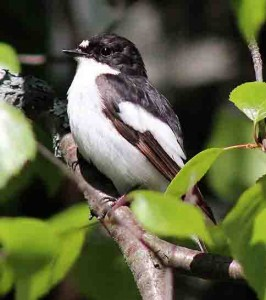 European Pied Flycatcher (male) (Author-Estormiz) (CC0)