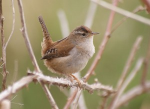 Marsh Wren (Author - tgreyfox) (CC BY-SA 2.0)