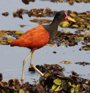 Wattled jacana (Author - Charlesjsharp) (CC BY-SA 4.0)