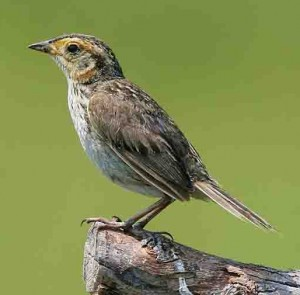 Saltmarsh sparrow (Author - Wolfgang Wander) (GFDL 1.2)