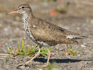 Spotted Sandpiper (CC BY-SA 3.0)