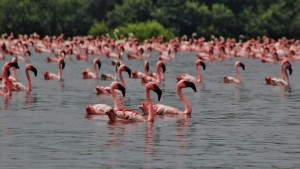 Flamingos migrate to Mumbai's wetlands in winters (HT Photo)