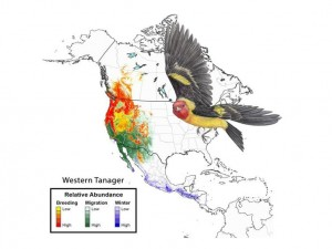 Western Tanager (Year-round abundance map for the Western tanager based on computer models using eBird data)