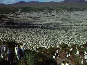 1982 picture shows a two-million-strong king penguin colony on Ile aux Cochon (Picture -  Henri WeimerskirchFrench National Centre for Scientific Research (Source AFP)