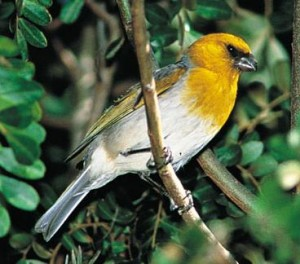 Palila is a critically endangered finch-billed species of Hawaiian honeycreeper