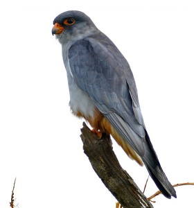 Amur Falcon (male) (CC BY-SA 2.0)