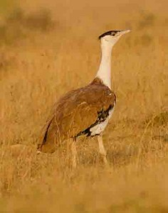 Great Indian bustard (Author - Prajwalkm) (CC BY-SA 3.0)
