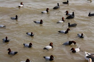 Common or Eurasian coot and Common pochard; (pix SShukla); (Representative image)